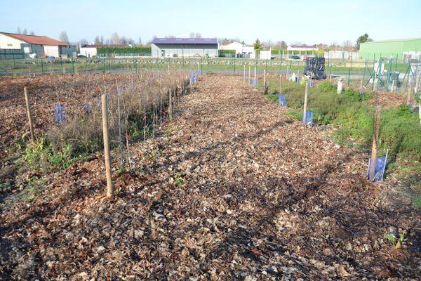 Le sol du potager peut être protégé par un paillage de feuilles.