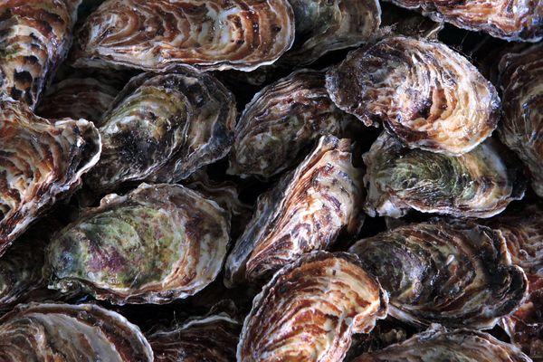 La mortalité des huîtres atteint 60 % de certaines exploitations à Oléron.