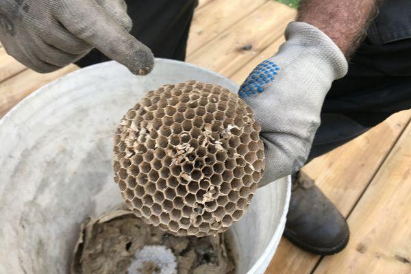 Le nid est fait de cellulose fabriquée par le frelon avec du bois qu'il mâche.