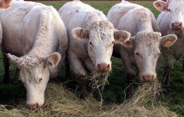 Les bovins du Charolais, en Saône-et-Loire, sont réputés pour la qualité de leur viande