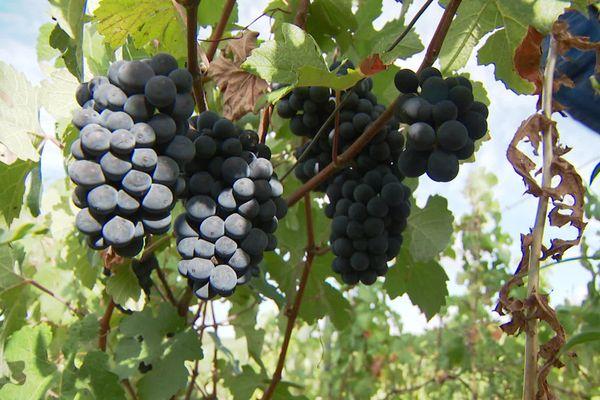 Les grappes de raisin particulièrement belles cette année dans le sud de l'Aisne