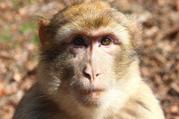 Un macaque de barbarie, aussi appelé magot, à la montagne des singes.