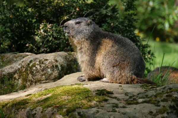 Le réveil de la marmotte au Parc animalier des Pyrénées.