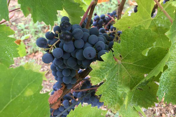 Dans les Deux-Sèvres, plusieurs vignerons laissent la nature œuvrer et produisent un vin naturel.