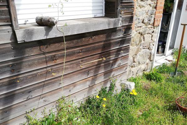 Dans le jardin d'Hildegarde, ce pied de tomate qui a passé l'hiver dans la buanderie sera prochainement bouturé : il côtoiera mâche, cirse, persil et mourron des oiseaux qui se disputent le terrain
