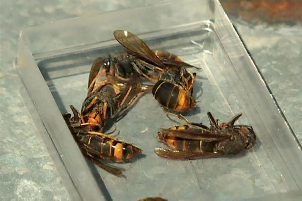 A partir de 2004, les abeilles ont été attaquées par le frelon asiatique causant une mortalité importante dans les ruches.