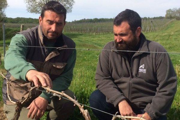 Le technicien de la chambre d'agriculture de Gironde et le propriétaire font l'inspection des parcelles pour évaluer les dégâts liés au gel du week-end dernier.