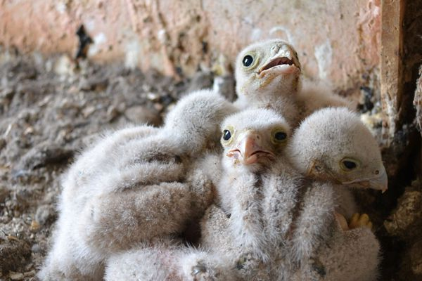 Cinq fauconneaux ont vu le jour au Musée des Maisons Comtoises, à Nancray.