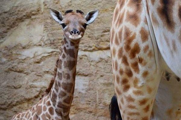 Esmeralda, girafon du Bioparc de Doué-la-Fontaine née le 15 avril 2019 alors que Notre-Dame de Paris s'embrasait