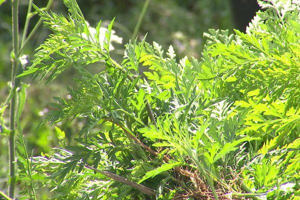 L'ambroisie, dont le pollen est extrêmement allergisant, est en recrudescence dans les zones urbanisées selon l'adjoint au maire de Saint-Priest, en charge des espaces verts. 3 août 2020.