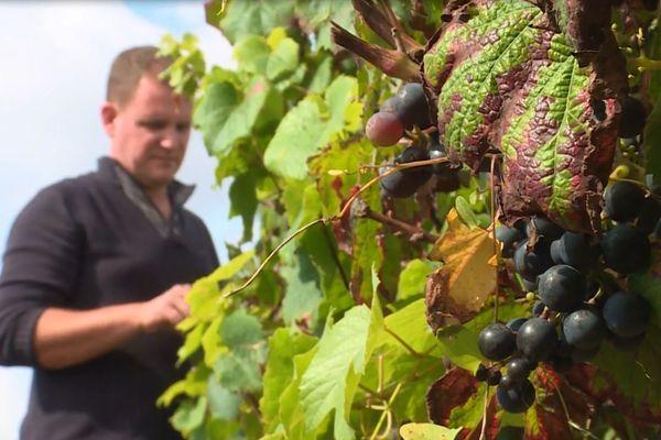 Les vignes n'ont pas été épargnées par les intempéries cette année.
