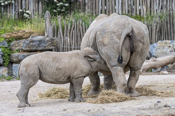 Un bébé rhinocéros blanc tète sa mère - Photo d'illustration