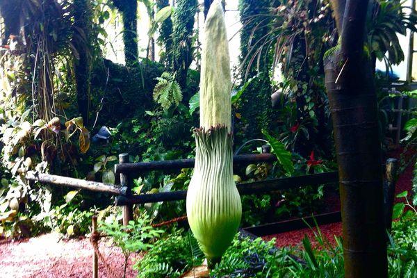 La fleur de l' Amorphophallus titanum mesure jusqu'à trois mètres.