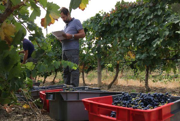 Ces vignes de l'INRA de Gruissan ont résisté au mildiou.