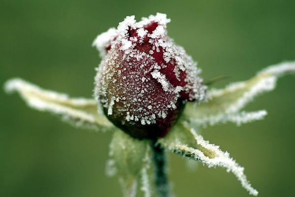 Un bouton de rose enseveli sous le givre