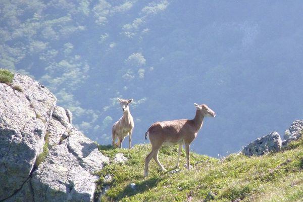 Une femelle mouflon avec son petit dans la Vallée de Chaudefour (Puy-de-Dôme)