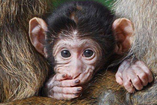 Bébé macaque de barbarie, dit Magot, tout juste né