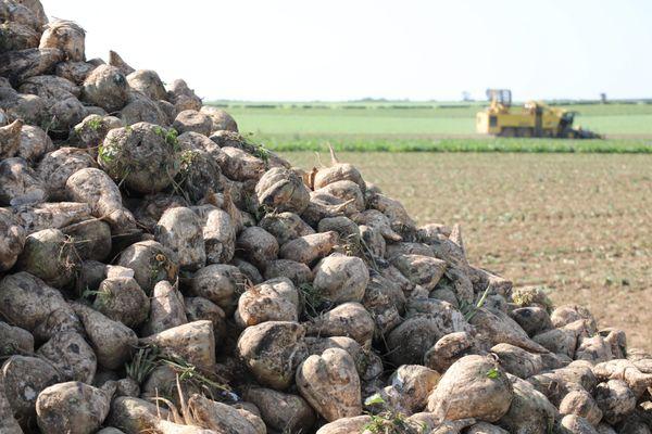 Une récolte de betteraves à Amiens - Photo d'illustration