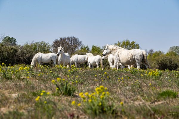 Dans le Gard, les propriétaires de chevaux se mobilisent pour protéger leurs bêtes.