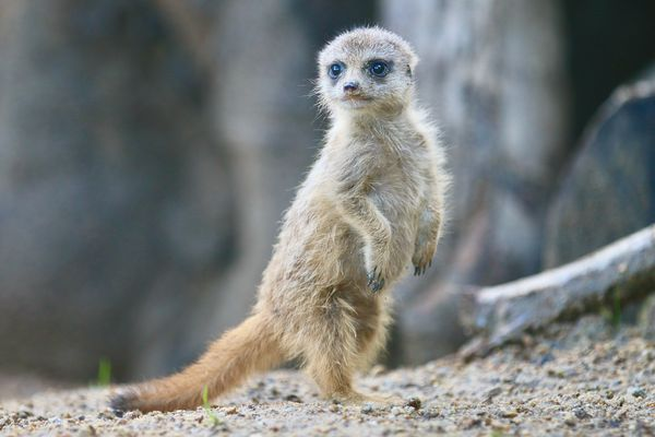 Bébé suricate