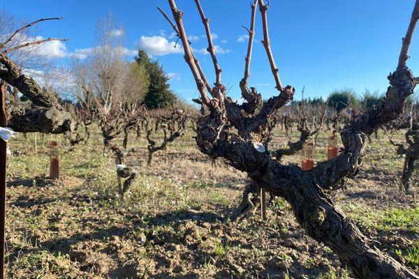 A Marsillargues, les vignes centenaires de la famille Daumas - février 2020