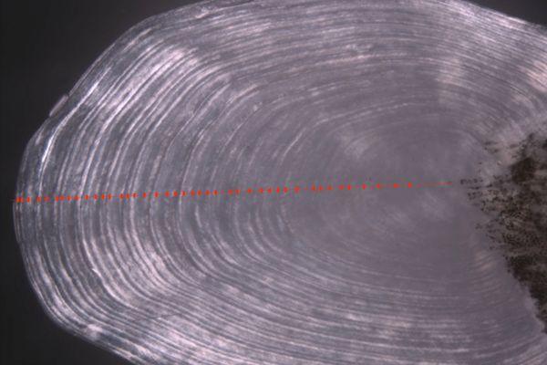 Comme pour les cernes des arbres, chaque année passée laisse une strie visible au microscope sur les écailles