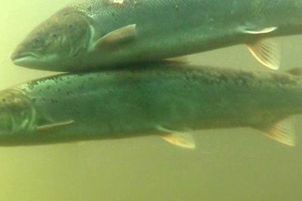 Plus de 1500 saumons sont remontés par la passe à poissons de Vichy en 2015. C'est 7 fois plus qu'en 1996 et 2 fois plus qu'en 2011.