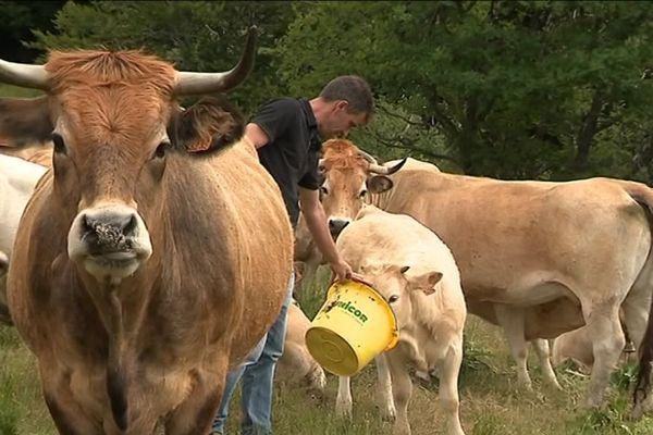 """Vaches """"Fleur d'Aubrac"""" chez un éleveur des Bondons (Lozère)"""