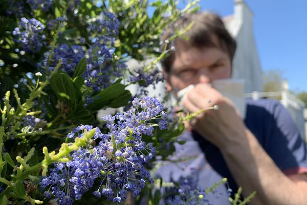 La Bretagne affiche cette année une concentration en pollens plus forte qu'en 2019 à la même période