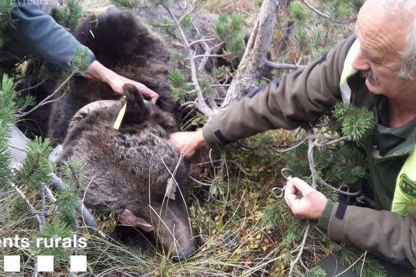 L'ours Goiat avait été endormi en octobre 2018 afin de changer les piles de son collier GPS