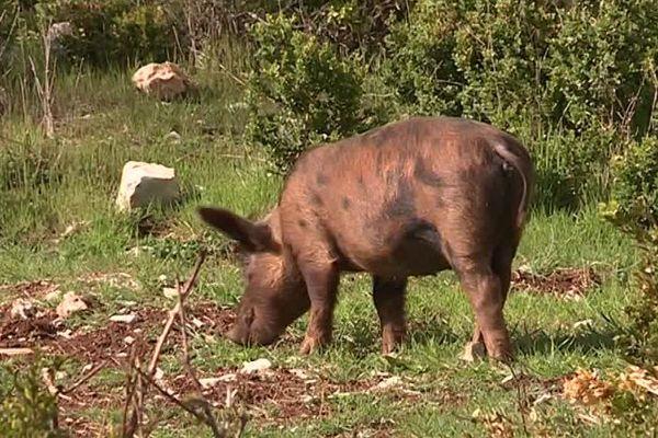 Les cochons de Nicolas Brahic se trouvent toute l'année sur le plateau du Larzac, en toute liberté.
