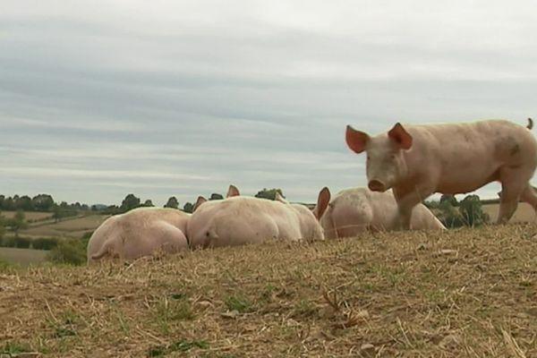 La production de porcs de qualité est une tradition dans le Morvan.
