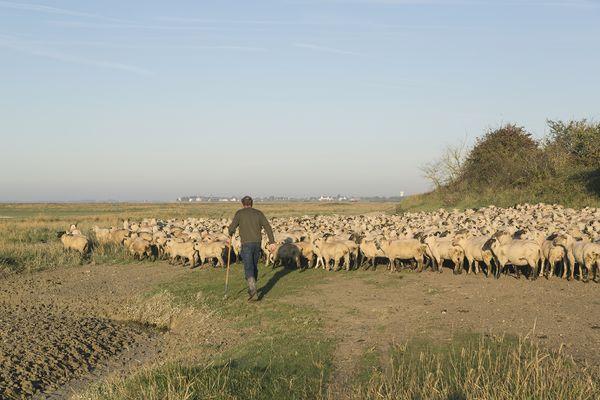 Agneau des prés salés en Baie de Somme (Semaine de l'agriculture)