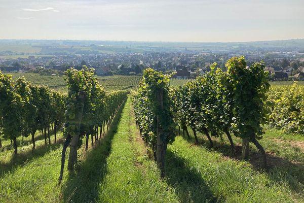 Quelques rangées de vignes héritées du grand-père font le bonheur du plus petit exploitant viticole d'Alsace.