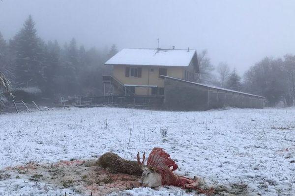 La carcasse de la brebis égorgée non loin d'une habitation.