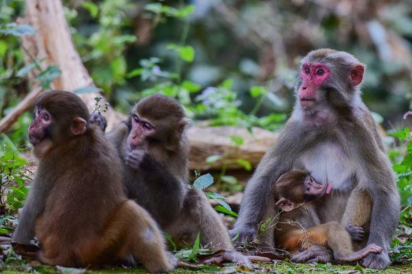 Les 2 macaques du parc des Landes sont arrivés en Mayenne. Photo d'illustration
