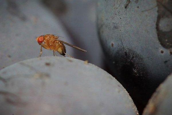 La mouche Drosophila suzukii s'attaque aux fruits rouges et à la vigne