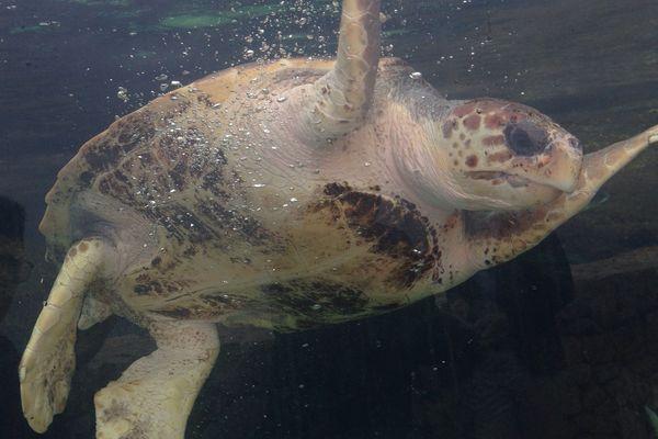 Le Centre de Soin aux Espèces Marines recueille des tortues marines blessées. Philémon Stinès