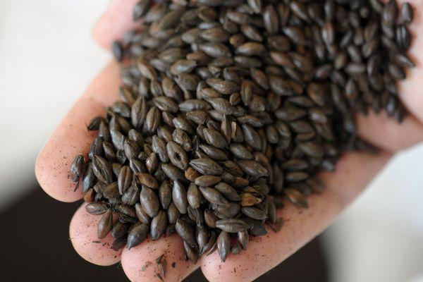 La vente des semences paysannes autorisées, mais seulement pour les jardiniers amateurs et les collectivités.
