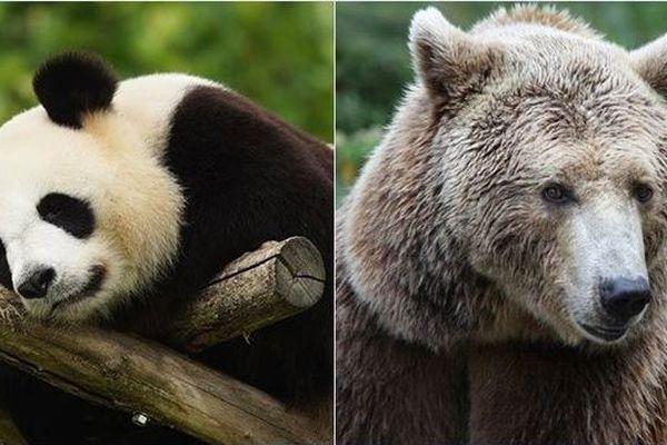Gogol, la femmelle ours de Beauval portera le petit panda