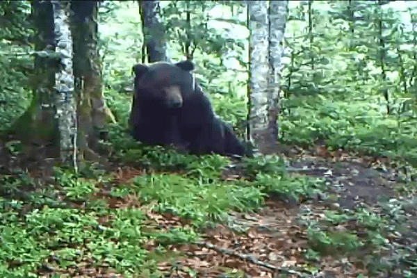 L'ours Néré, filmé par la caméra de Xavier Piro dans le massif de Sesques.