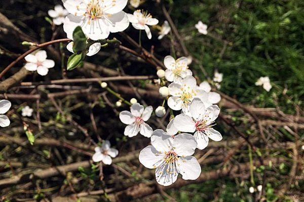 Un prunus en fleurs. La floraison des arbres fruitiers est en avance en raison de la douceur des températures - février 2020