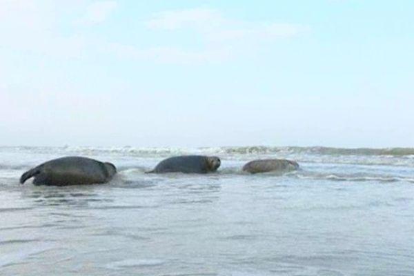 Les jeunes phoques ont retrouvé la mer après quatre mois de convalescence