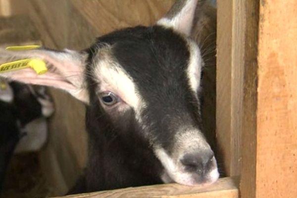 """""""Cou clair"""" ou """"noire à barrettes, dans les deux cas la chèvre de Savoie est craquante !"""