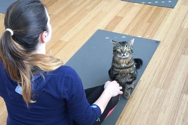 Les chats déambulent librement dans la salle pendant les séances de yoga permettant la rencontre entre l'animal et l'humain.