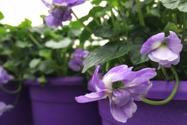 La violette de Toulouse, une fleur double qui peut paraît-il avoir jusqu'à 50 pétales.