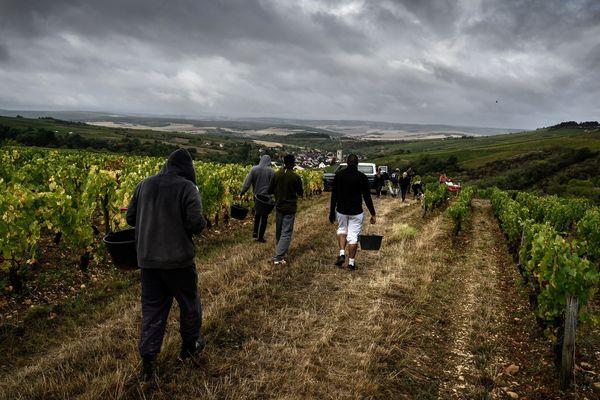 Des détenus d'Auxerre participent aux vendanges à Irancy dans l'Yonne.