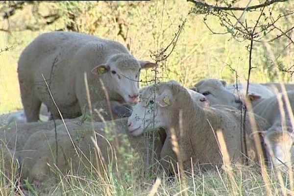 Dole : des brebis pour l'entretien du Mont Roland