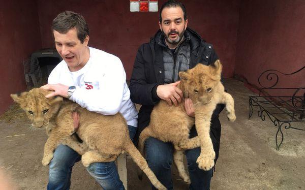 Les deux lionceaux ont été pris en charge par l'association ROAAR, avant d'être remis à l'association Tonga terre d'accueil.