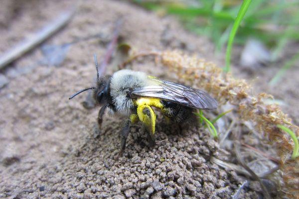 Parcours de golf de Saint-Sébastien-sur-Loire. Abeille Andrena Vaga, une abeille qui affectionne les saules.